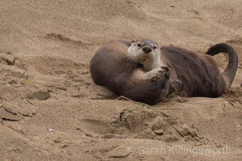 wrestling otters