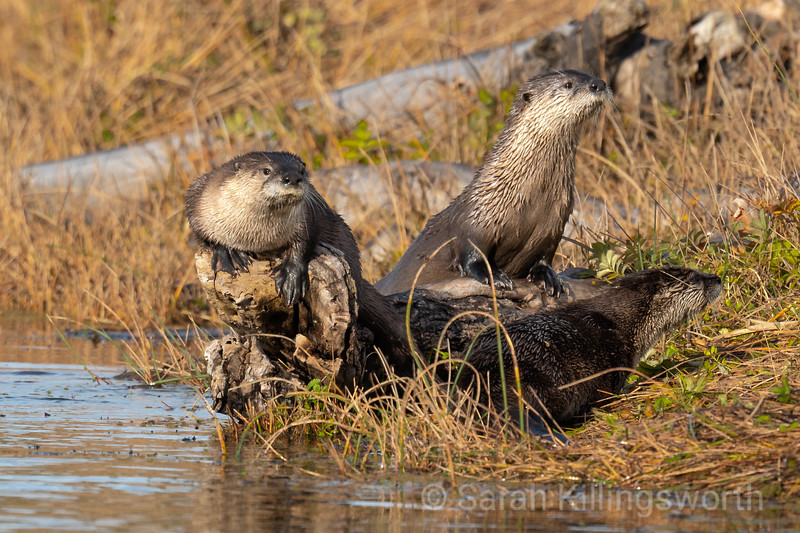 otters after the hunt