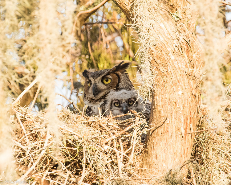 Great Horned Owls-Heavily Cropped