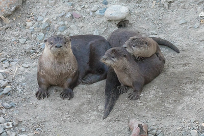 Mother River Otter  And Her Two Pups Relaxing On The Bank Of A Canal