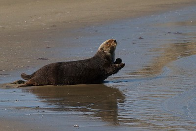 Sea otter appearing to do a yoga stretch at Moss Landing, California.