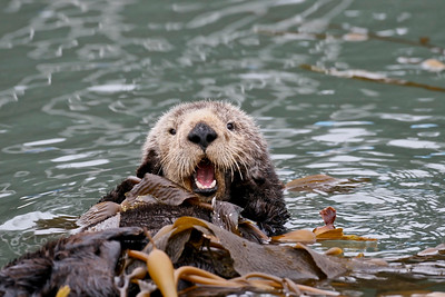 A beloved female sea otter, Morro Bay, California.
