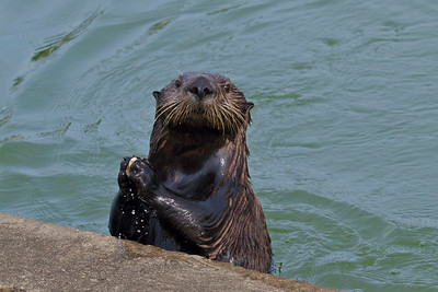 Sea otter cracking a clam open on a cement pier at Moss Landing, California.