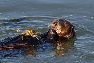 Sea otter dining on crab, Moss Landing, California.