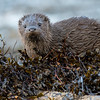 Otters, Mull November 2017