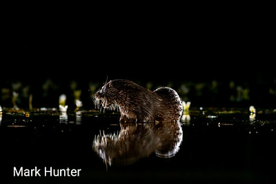 Reflected Otter