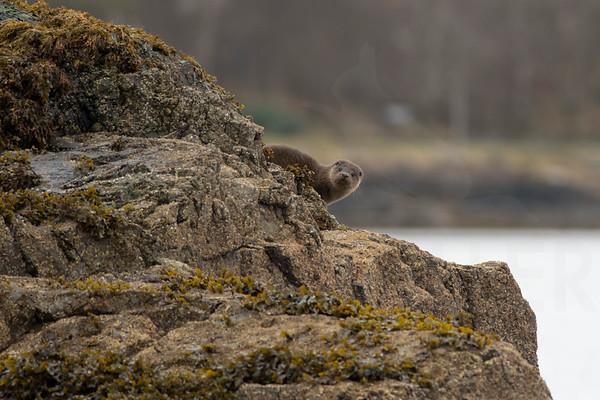 Otters, Mull November 2017