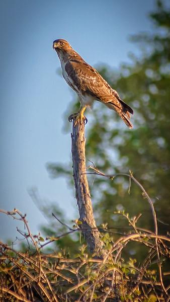 Otterville Redtail Hawk
