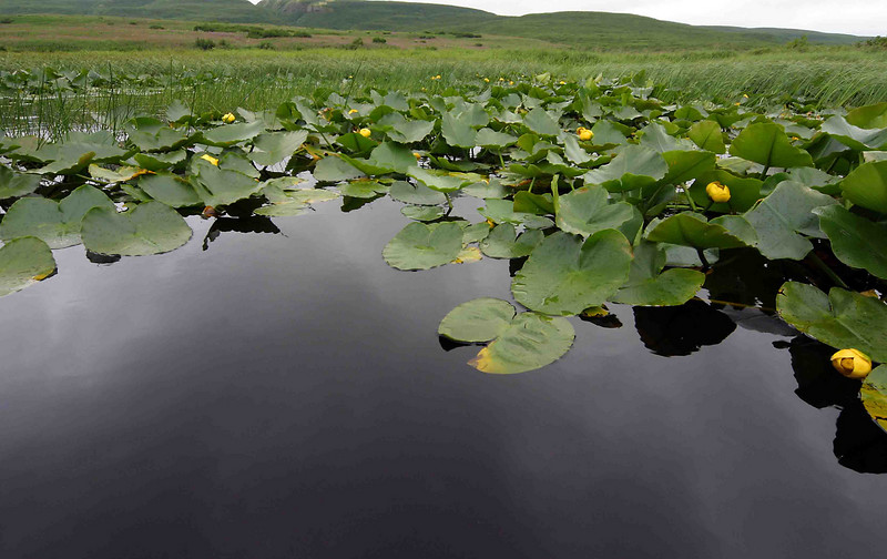 A natural fen with pond lily just outside the door of the sweathouse.