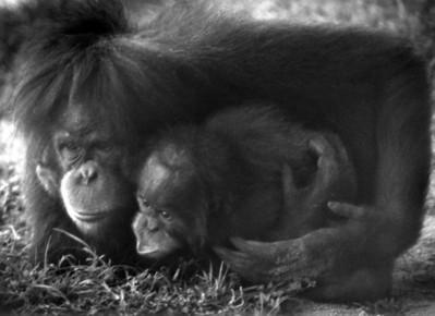 Mother Urangutan