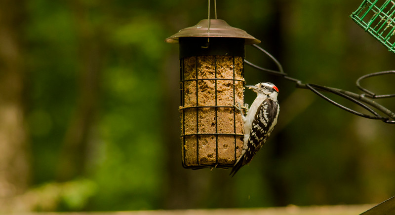 2016-05-01-Woodpecker