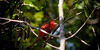 2016-09-10-summer-tanager-2