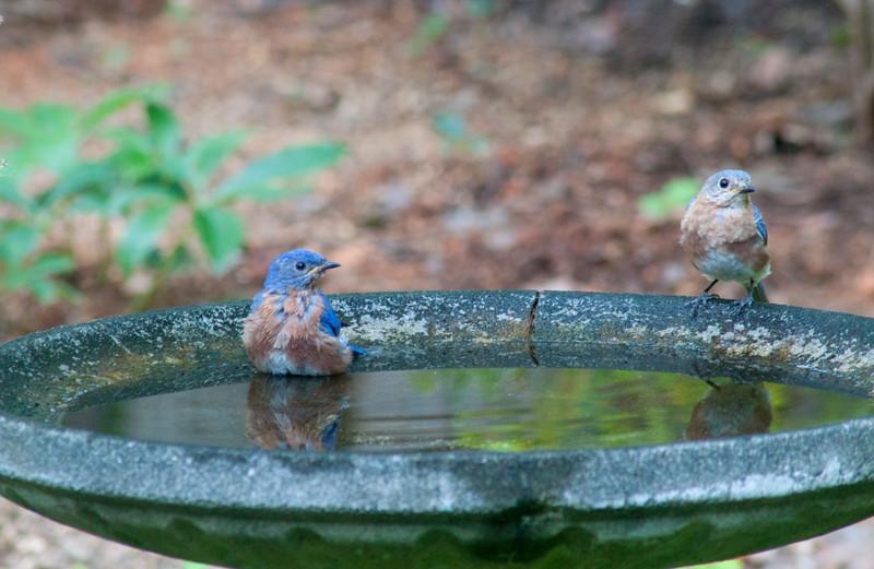 2015-08-14-two-bluebirds