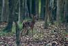 2015-06-21-Deer