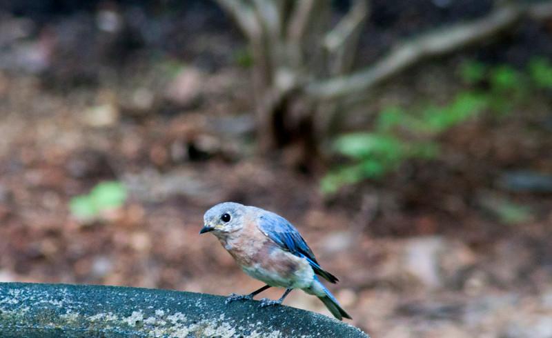 2015-08-14-young-bluebird
