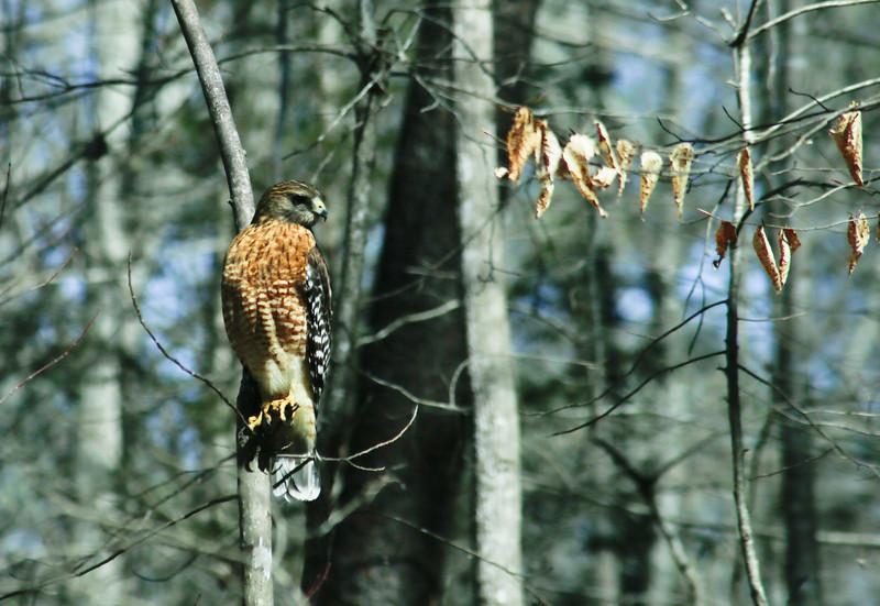 2016-2-28-Hawk