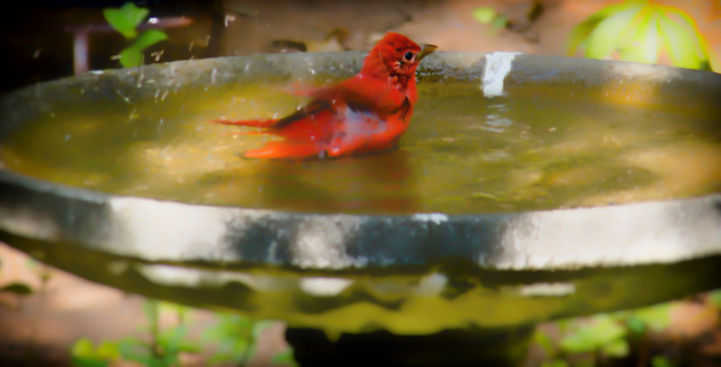 2016-09-10-summer-tanager