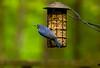 2016-05-01-Bluebird