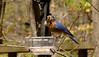 2016-04-03-Bluebird-4