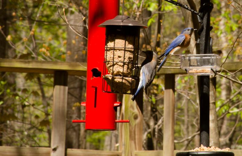 2016-04-03-Bluebirds