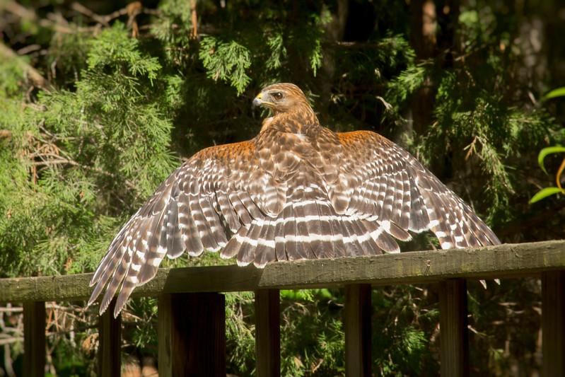 2017-05-31-hawk-wings-2