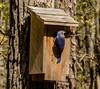 2016-04-03-Bluebird-5