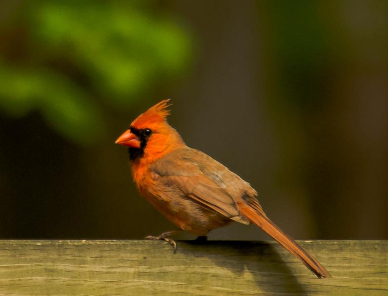 2016-05-01-Cardinal