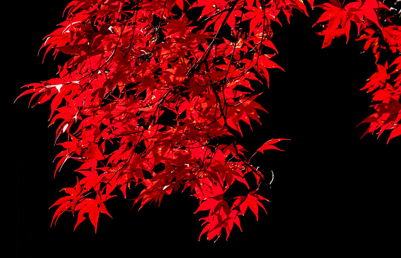 2016-11-27-Red-Maple-2