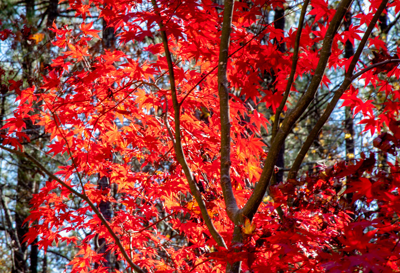 2016-11-27-Red-Maple-3