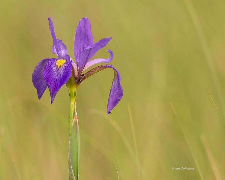 """""""Purple Majesty"""""""