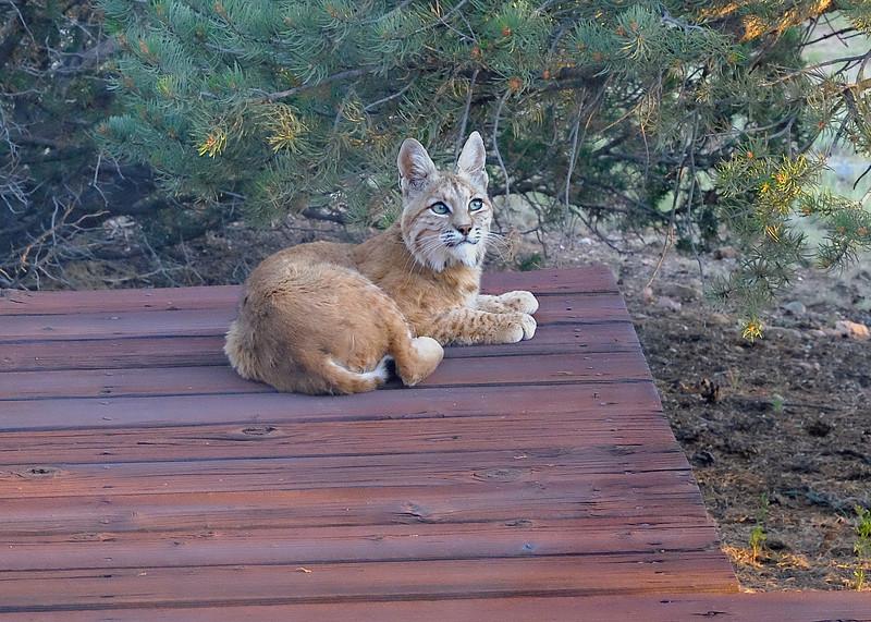 Mother Bobcat