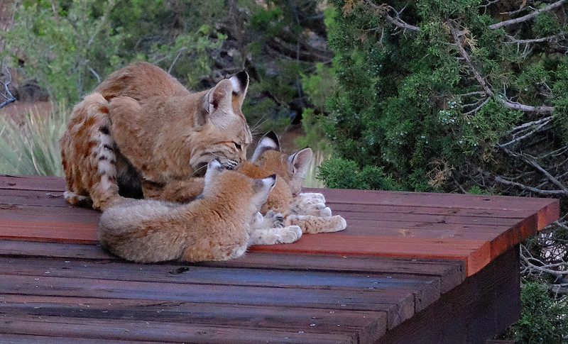 Mother Bobcat and Kittens