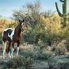 Sonora Desert Horse