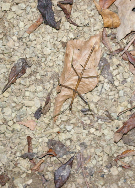 Can you find the walking stick bug?