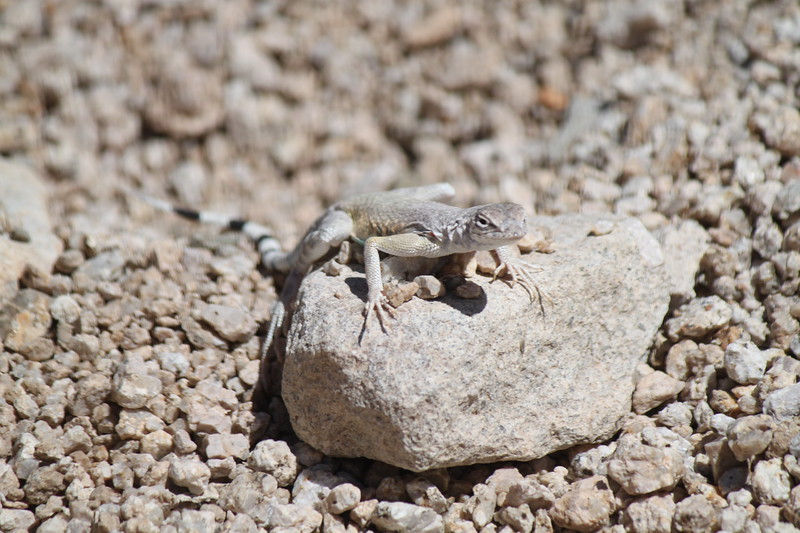 tiger-tailed lizard