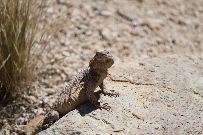A chuckwalla trying to warm up in the sun.