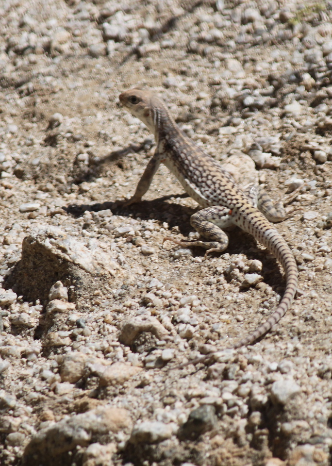 some other kind of lizard