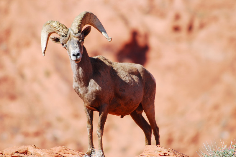 A Big Horn Sheep - Valley Of Fire Nevada