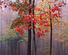 Fall Colors in Hardwood Forest ca. 1991 Pocahontas State Park, Virginia, USA