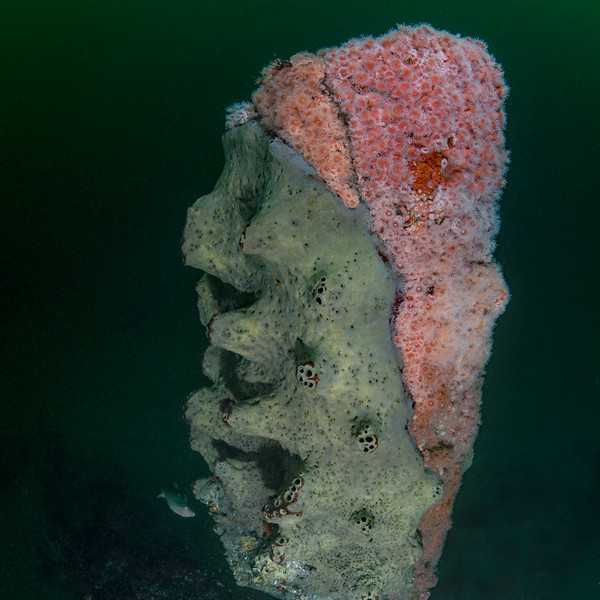 Gray moon sponge competes with Corynactis for space