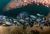 GSB and blacksmiths<br /> Spongehenge, Hermosa Artificial Reef, Los Angeles County, California
