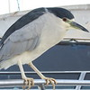 Night heron at the dock