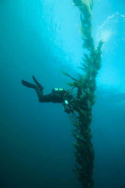 Phil examines kelp for nudibranchs in unexpected visibility.
