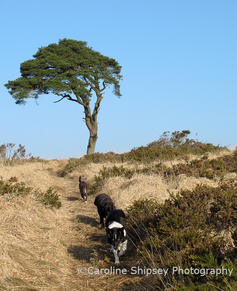 Bessie leading Dusty and Chipper down from the 'Big Tree' and back to the car.