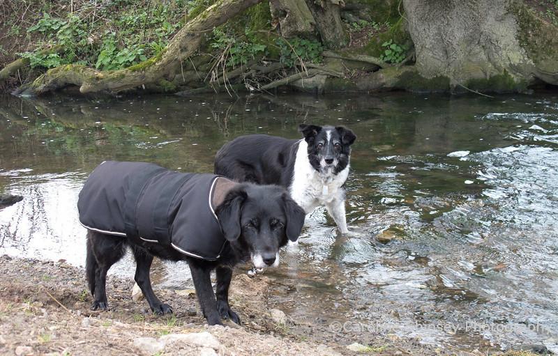 26th March<br /> Dusty and Bessie always enjoy a bit of a splash around.  This was taken on our morning walk near Dulcote.