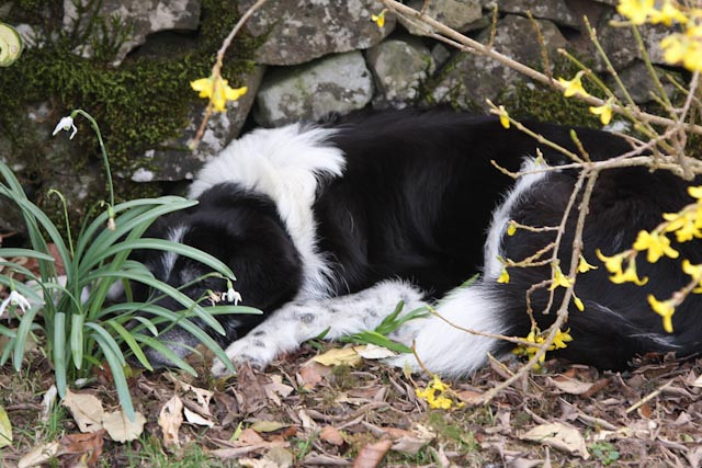 """There should be a """"Do Not Disturb"""" sign here! She's lying on what was a very nice clump of Tete a Tete daffodils!"""
