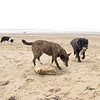 26th March - Afternoon walk at Sand Bay near Weston Super Mare<br /> <br /> Chipper and Dusty in the foreground with Bessie just coming into view.  Not the most beautiful beach but good to have a change of scenery and very dog friendly!  Most people walking  had dogs with them.