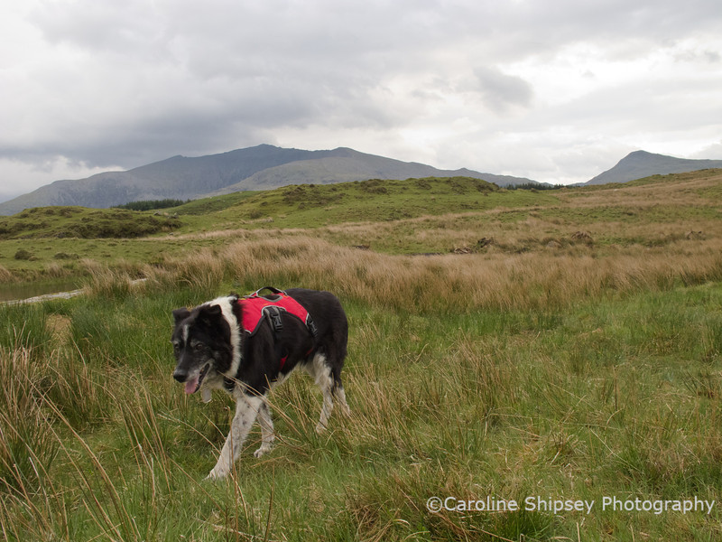 Almost at the end of the walk at Llyn Dwyarchen - the last part had been very difficult through boggy areas.  Thank heavens for the Ruffwear harness Bessie is wearing which meant I could lift or support her through the worst bits.