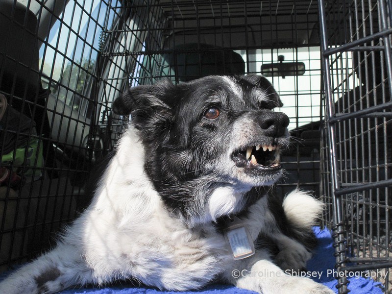 <i>Bessie Speaking - Now I would hate you to think that I'm just a sad old girl, clinging on to life - No, that's not  so as this photo shows!  I like to lie in the back of Caroline's car in the sun, but I don't like the other dogs sniffing around me. As you can see, I still have spirit - this is my warning face - DO NOT DISTURB!</i>