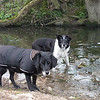 26th March<br /> Dusty and Bessie always enjoy a bit of a splash around.  This was taken on our morning walk near Dulcote.